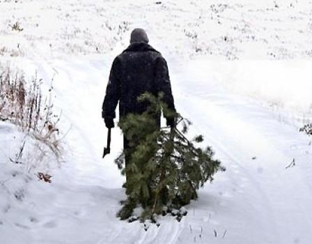 ВКировской области засамовольную рубку елок придется платить штраф