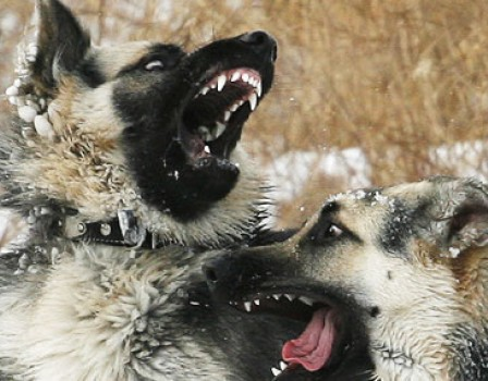 Хозяйке собак-убийц грозит срок 0+